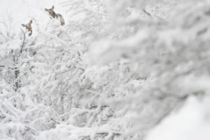 cervi-inverno-marsicano