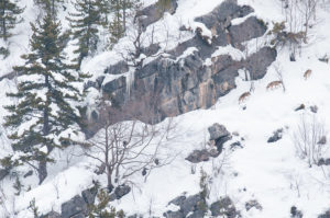 lupi-costone-neve